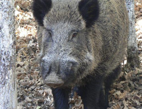 Peste porcina africana, cada vez más cerca